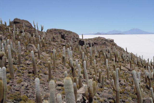Cactussen op het eiland isla de los pescadores in het midden van de salar de uyuni bolivia - In het midden eiland grootte ...